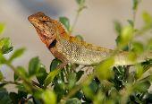 Oriental Garden Lizard Calotes versicolor crawling through a hedge poster