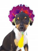 small dog with cap of mexican over white background poster