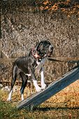 The Great Dane is a large German breed of domestic dog known for its enormous body and great height. poster