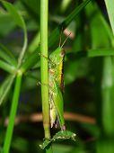 A Green Grasshopper in Kuranda Queensland - Australia poster