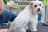 The groomer woman is grooming a white Maltese dog sitting on the table. The dog is looking to the camera. poster