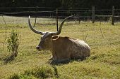 A real Texas Longhorn cow resting in a scenic pasture in the horizontal format. poster