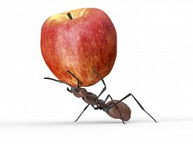 Ant Is Lifting An Apple Isolated On A White