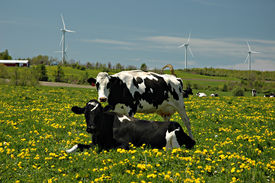 Two cows and windmills