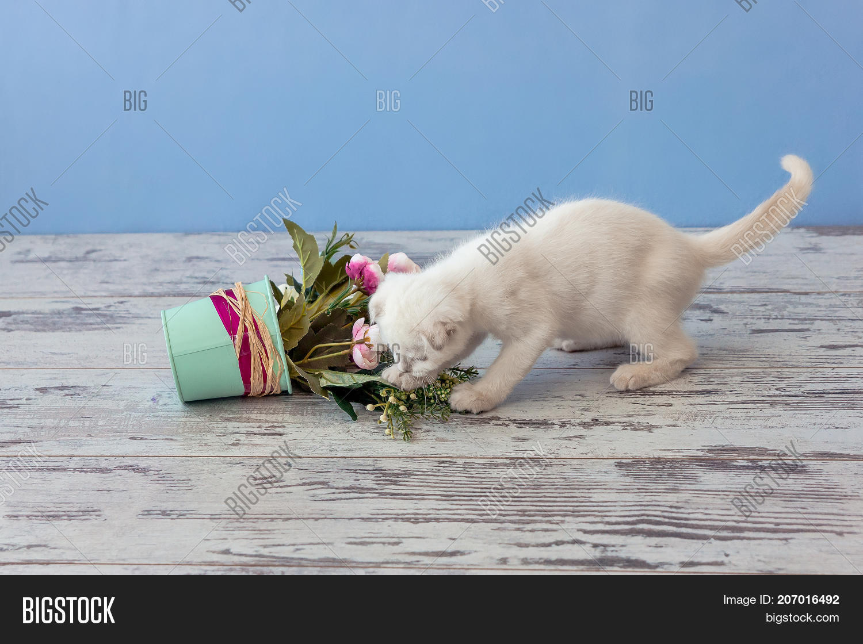 Kitten Scottish Fold Image & Photo (Free Trial) | Bigstock