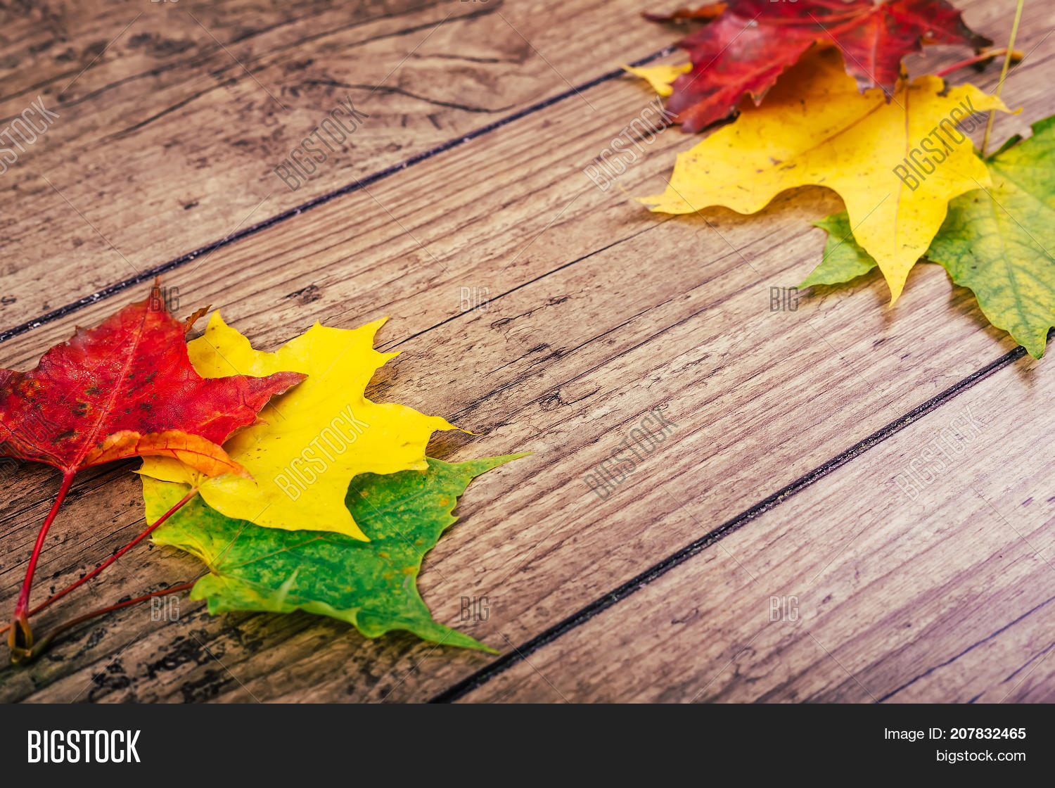 Autumn Background With Colorful Fall Maple Leaves On Rustic Wooden Table Life Cycle Of