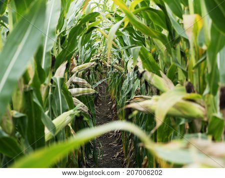 Corn field before harvest. Ripe corn cobs in row behind. Detail view immersed between corn cobs and leaves. Autumn rural rustic background with vegetable. Agriculture maize farming.