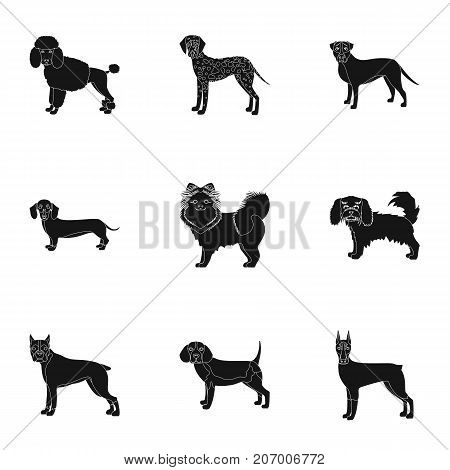 Dachshund, laika, poodle and other  icon in black style.Boxer, rottweiler, bulldog, icons in set collection