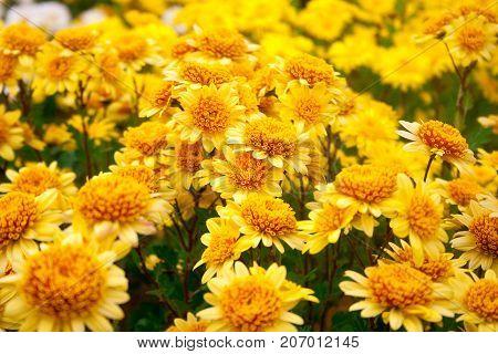 orange and yellow chrysanthemums. Chrysanthemum wallpaper, chrysanthemums in autumn. Beautiful chrysanthemum as background picture.