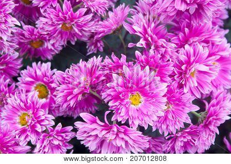 lilac chrysanthemums. Chrysanthemum wallpaper, chrysanthemums in autumn. Beautiful chrysanthemum as background picture.