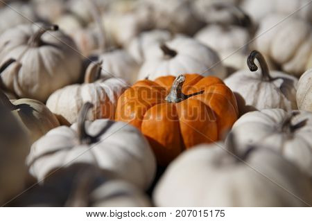one orange pumpkin among small white pumpkins. pumpkins at the farm market. the concept of difference. selective focus
