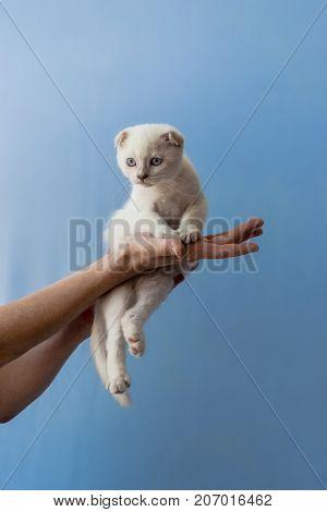 Kitten Of Scottish Fold Breed In Womans Hands
