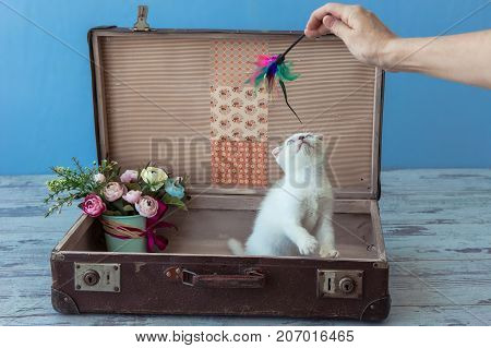 Kitten Of Scottish Fold Breed With Blue Eyes Sits Inside Vintage Suitcase