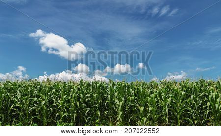 agriculture corn field with blue sky background