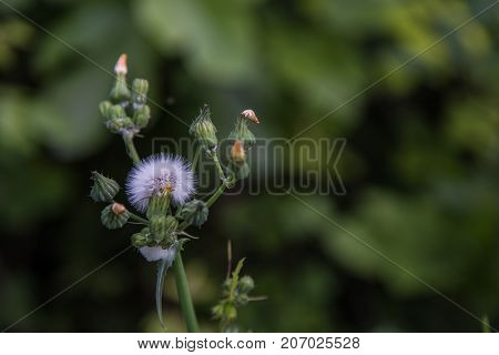Taraxacum officinale in the foreground with blurry background.