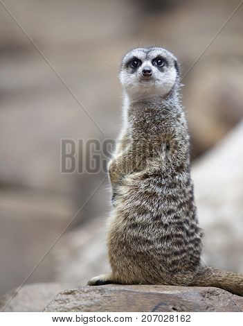 Meerkat sitting up and striking a pose.