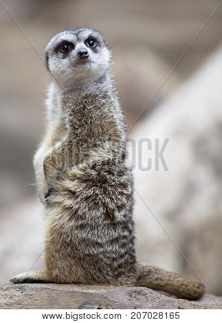 Meerkat sitting up and striking a pose