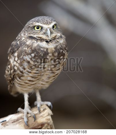 Close up image of a burrowing owl with shallow depth of field