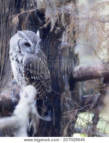 Eastern Screech Owl perched on a branch
