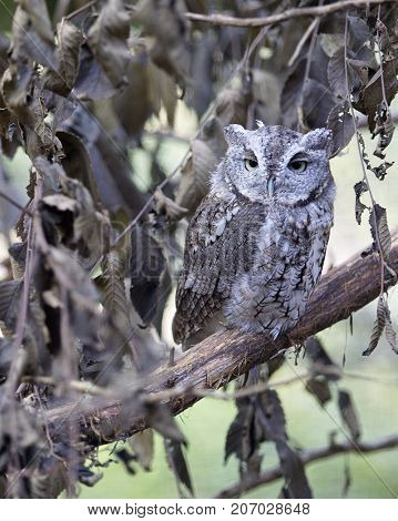 Eastern Screech Owl camouflaged on a tree branch surrounded by leaves.
