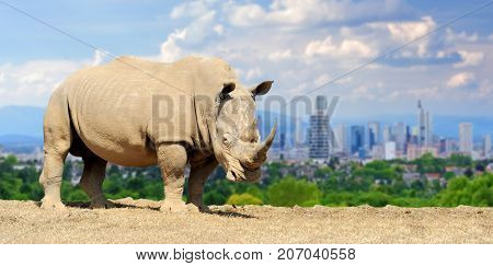 Rhino With The City Of On The Background