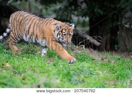 Close up cute siberian tiger cub in grass