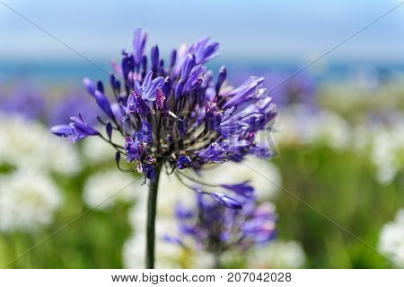 A field of Ithuriel's spear, Triteleia laxa, in bloom in mid summer on the central California Coast poster
