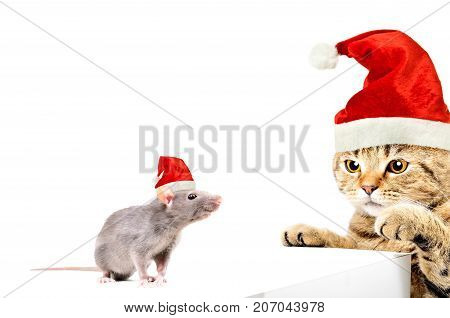Cat Scottish Straight and rat in New Year's caps playing together, isolated on white background