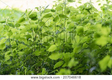 dense translucent green ground cover vegetation closeup
