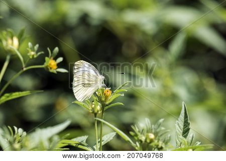 Cabbage butterfly sits on a yellow flower (Pieris brassicae)