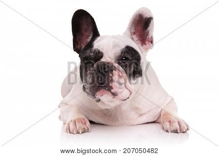 black and white french bulldog looks away while lying down on white background