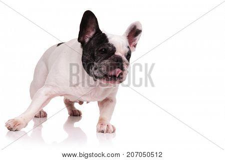 french bulldog walking to side on white background