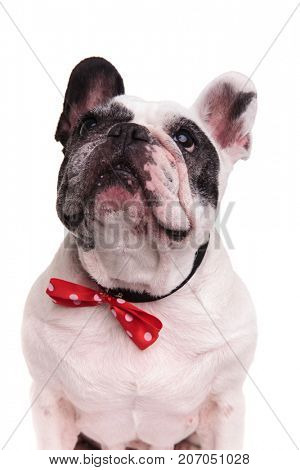 black and white french bulldog wearing bowtie looks up on white background