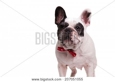 elegant french bulldog wearing red bowtie standing on white background