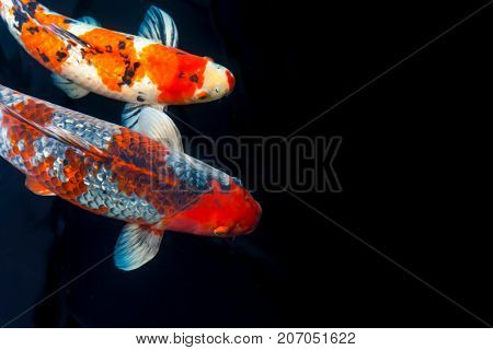 Koi Fish With Painting Effect Composition With Space For Text