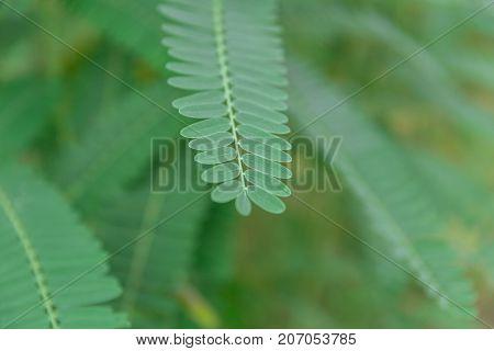 Closeup Leaf Of Humming Bird Sesban Agasta Sesbania Grandiflora Agasta Sesban