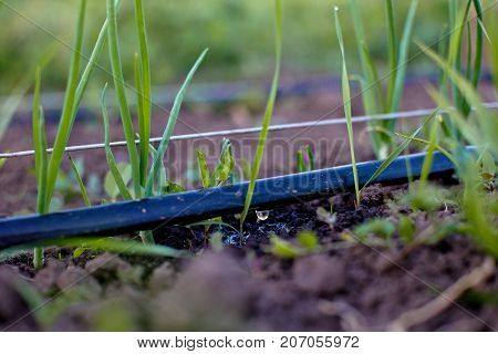 Cultivation of onions in the garden in the village in the country. Drip Irrigation Systems. Weed next to the garden. The bed of onions ordinary bulb. Slebli leaves and spicy vegetable crops of onions. Copy space