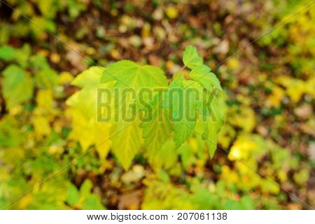 Close-up Background Of Young Maple Tree In The Autumn Wood