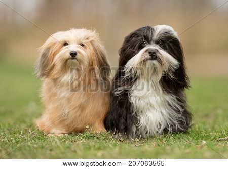 Bichon Havanais Dogs