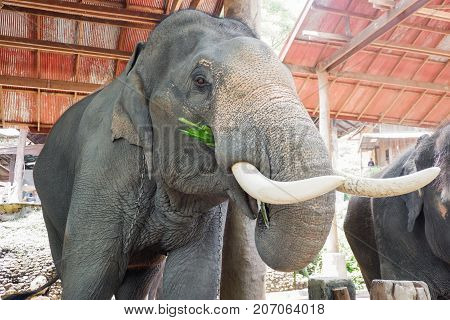 Asia elephants eating grass in Chiang mai, Thailand