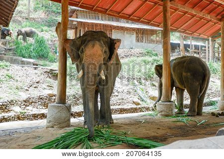 Asia Elephants Eating Grass, Thailand