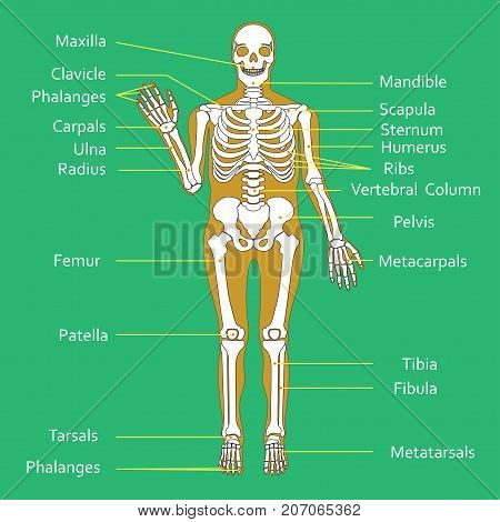 Medical Education Chart of Biology for Human Skeleton Diagram. Vector illustration.