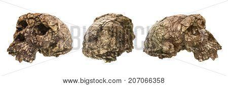 Set Of Sahelanthropus Tchadensis Skull ( Toumai ) . Discovered In 2001 In Djurab Desert In Northern