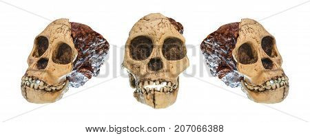 Set Of Australopithecus Africanus Skull . ( Taung Child ) . Dated To 2.5 Million Years Ago . Discove
