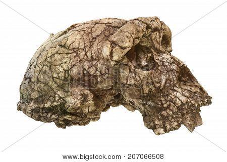 Sahelanthropus Tchadensis Skull ( Toumai ) . Discovered In 2001 In Djurab Desert In Northern Chad ,