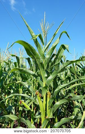 Young corn cobs on background bright blue sky. Side view.