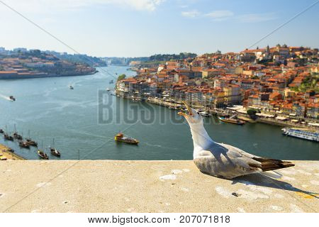 Seagull screaming in Porto skyline on Douro River. Freedom and travel concept. Aerial view of colored buildings with tiles roofs in Oporto, Portugal. Beautiful sunny day. Copy space.