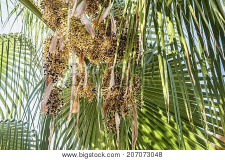 Closeup shot of branches of date palms.