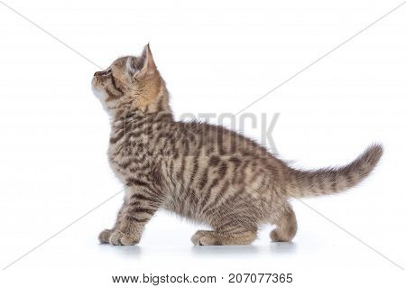 Cute kitten standing profile side view on white background cutout