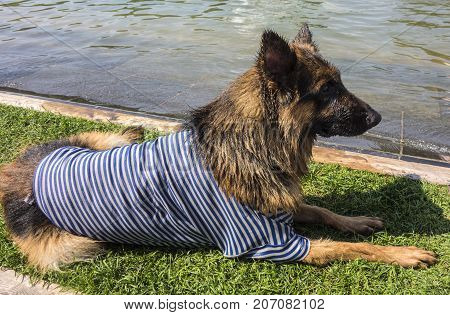 A wet German shepherd in a vest after bathing lies on the shore.